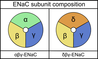 Cartoon schematic of two epithelial sodium channel (ENaC) isoforms composed of either α, β, and γ-ENaC or δ, β, and γ-ENaC subunits. Image: private