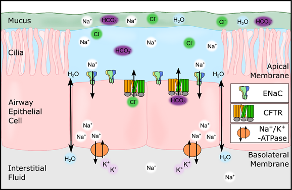 A cartoon showing αβγ-ENaC and the cystic fibrosis transmembrane conductance regulator (CFTR) mediating the volume of the airway surface liquid.