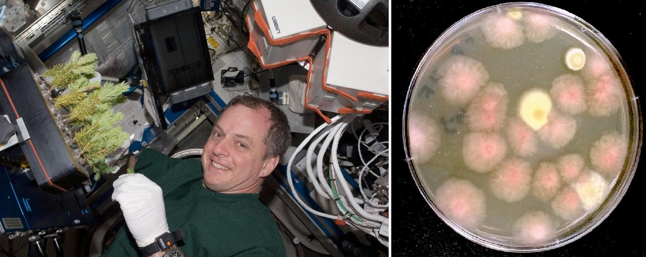 The first picture shows NASA astronaut servicing the Advanced Plant Experiments. The second picture shows petri dish with colonies of fungi grown on the International Space Station.